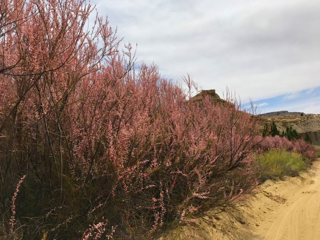 12 Cottonwood Canyon pink shrubs