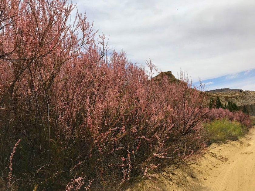 12 Cottonwood Canyon pink shrubs